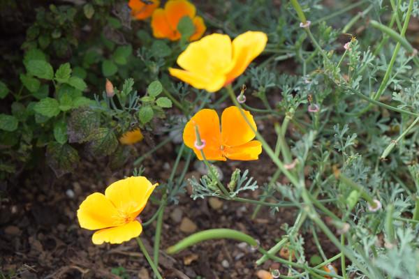pavot-de-californie