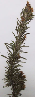 romarin-herbier