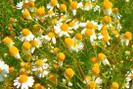 Plantes contre les angines