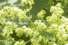 alchemille - Alchemillae vulgaris L.,