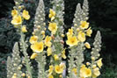 Plantes médicinales pour soigner la bronchite