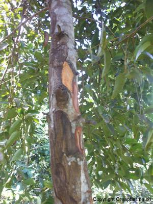 cannelle - Cinnamomum zeylanicum