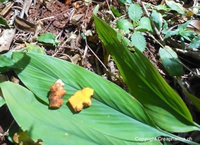 Curcuma - Curcuma aromatica, Curcuma longa