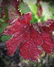 Vigne rouge - Plante médicinale