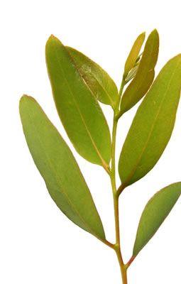 Eucalyptus - Plante médicinale