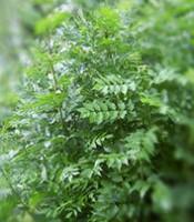 Frêne - Plantes pour maigrir