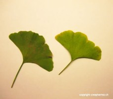 Ginkgo - Pour lutter contre les pertes de mémoires
