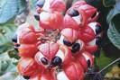Guarana - Plante médicinale