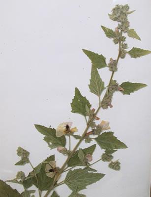 Guimauve - Plante médicinale