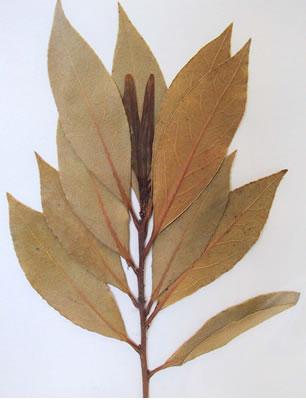 Laurier - Plante Médicinale