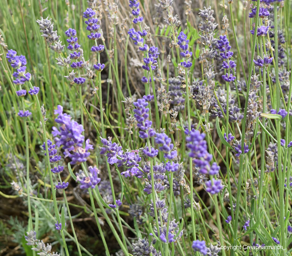 Lavande lavandula angustifolia creapharma - Quand couper les fleurs de lavande ...