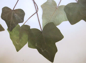 Lierre - Plante Médicinale
