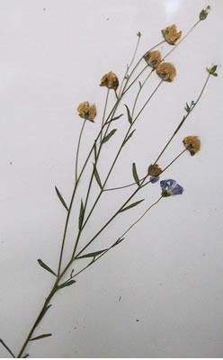 Lin (graines de lin) - Plante Médicinale