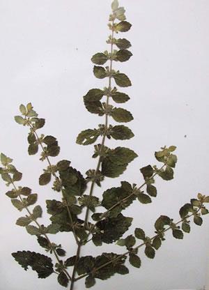 Mélisse - Plante Médicinale