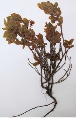 Myrtilles - Plante Médicinale