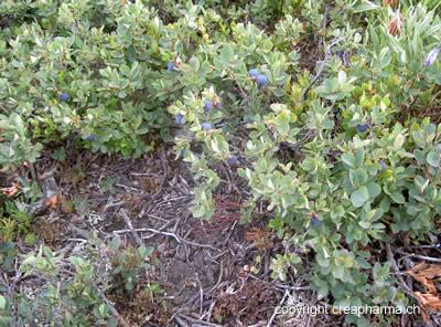 Myrtilles - Vaccinum myrtillus