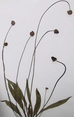 Plantain lancéolé - Plante médicinale