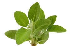 Sauge - Plante médicinale