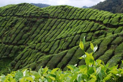 plantation de théier prise en Chine