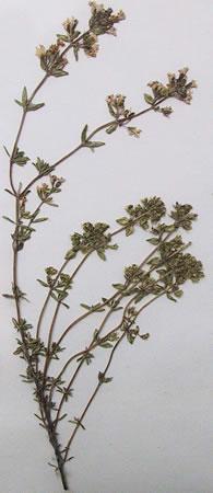 Thym - Plante médicinale