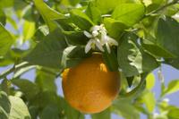Oranger - Plante médicinale