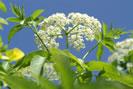 sirop de fleur de sureau ingrédients