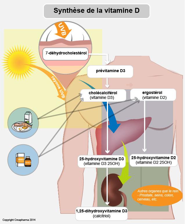 vitamine D synthèse