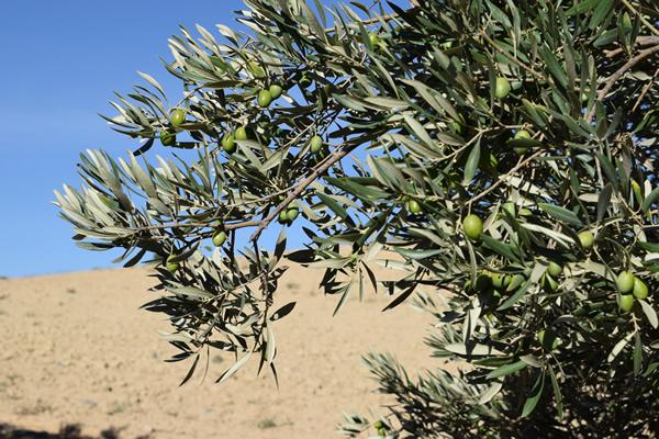 Huile d'olive pour le sexe anal